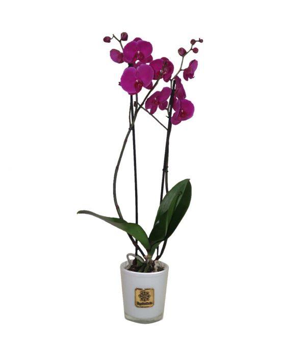 Orquídea L